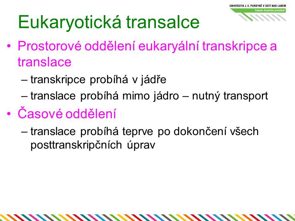 Eukaryotická transalce Prostorové oddělení eukaryální transkripce a translace –transkripce probíhá v jádře –translace probíhá mimo jádro – nutný trans