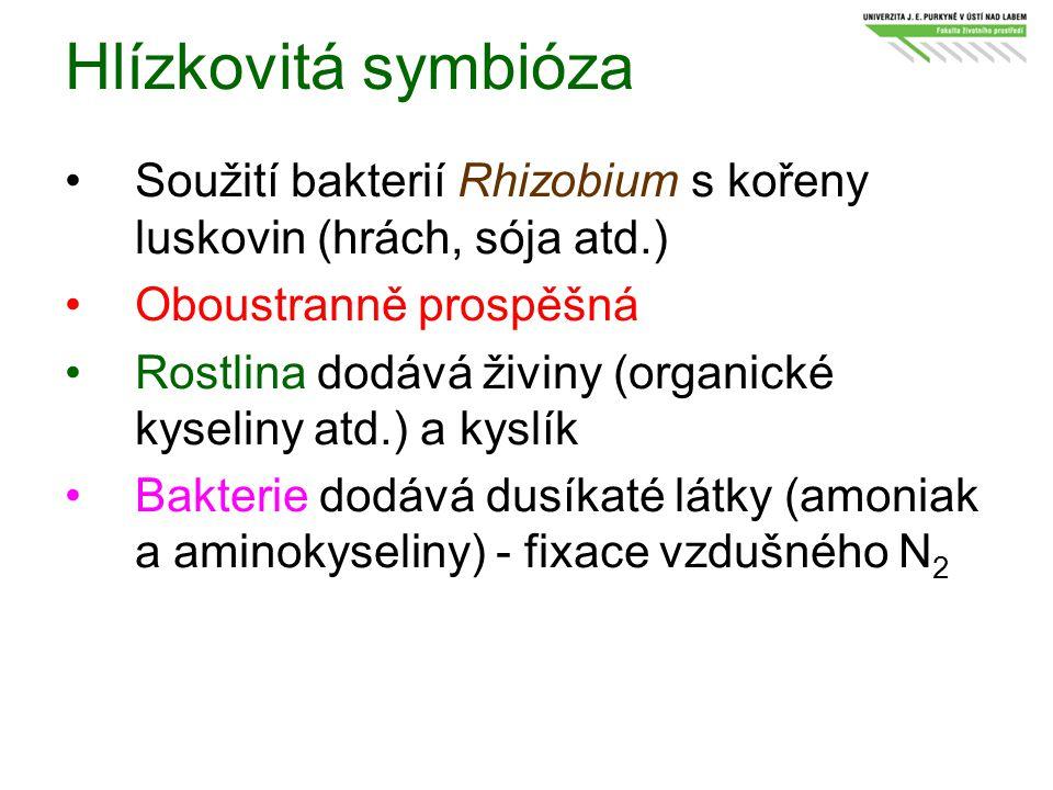 Hlízkovitá symbióza Soužití bakterií Rhizobium s kořeny luskovin (hrách, sója atd.) Oboustranně prospěšná Rostlina dodává živiny (organické kyseliny a