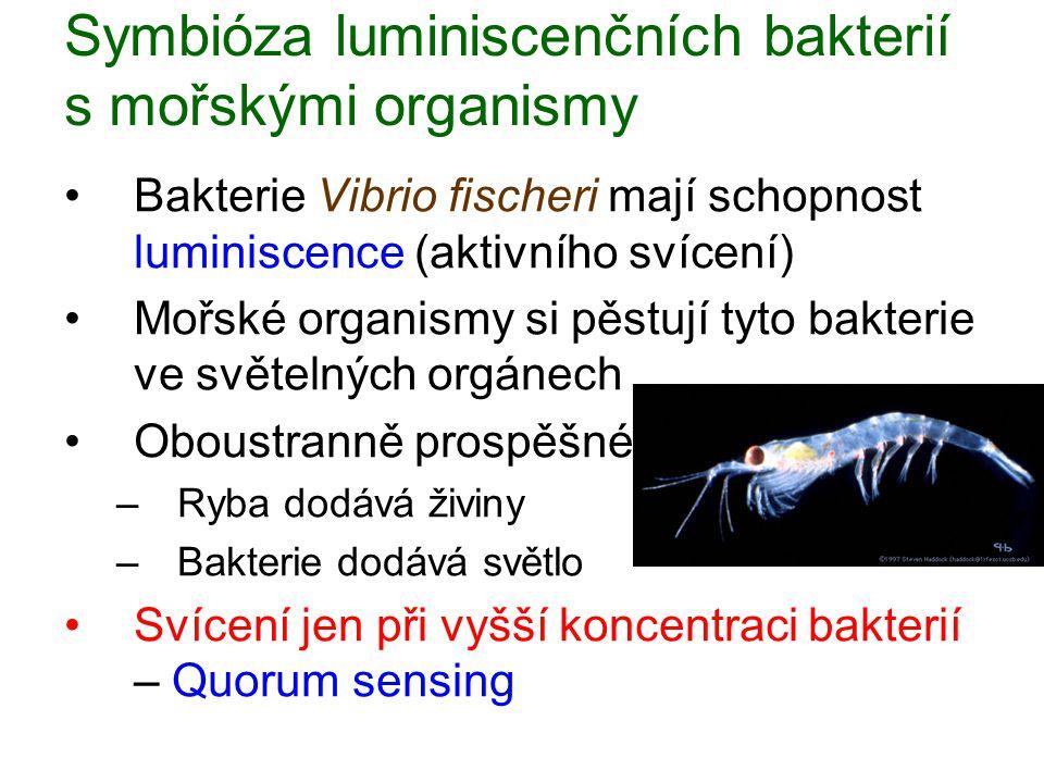Symbióza luminiscenčních bakterií s mořskými organismy Bakterie Vibrio fischeri mají schopnost luminiscence (aktivního svícení) Mořské organismy si pě