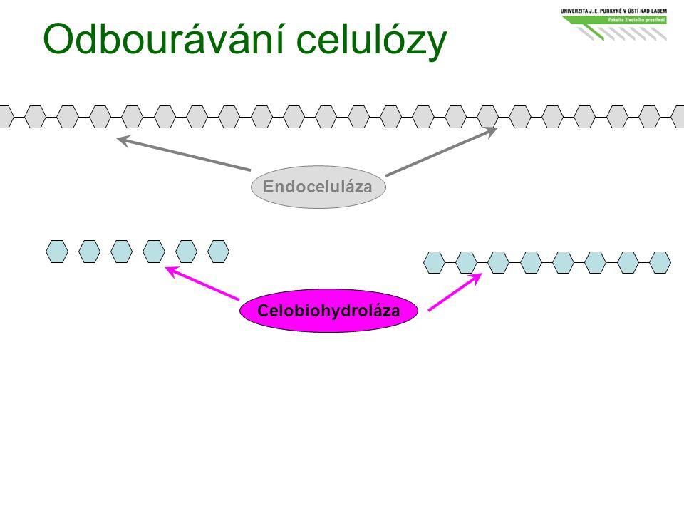 Odbourávání celulózy Endoceluláza Celobiohydroláza