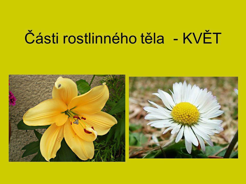 Květy: Slouží k rozmnožování rostliny.Zespodu drží na květním lůžku (přeměněná část stonku).
