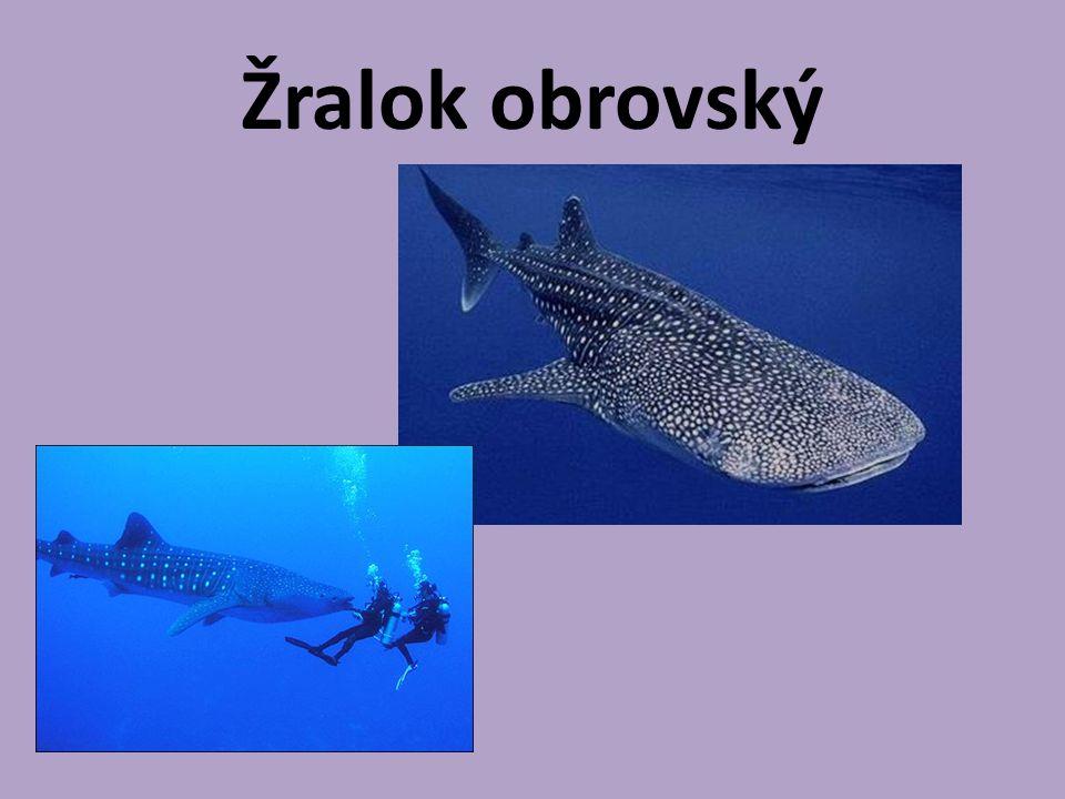 Je zcela neškodný. Živí se planktonem. Může měřit až 18 m.