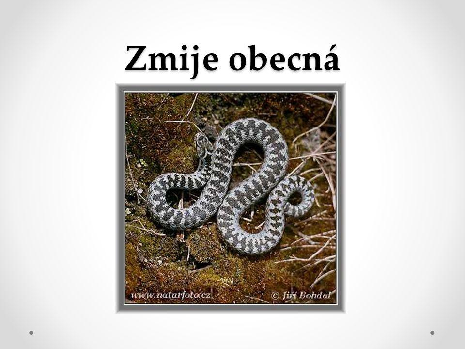 Náš jediný jedovatý had.Má šedou barvu s klikatým pruhem.
