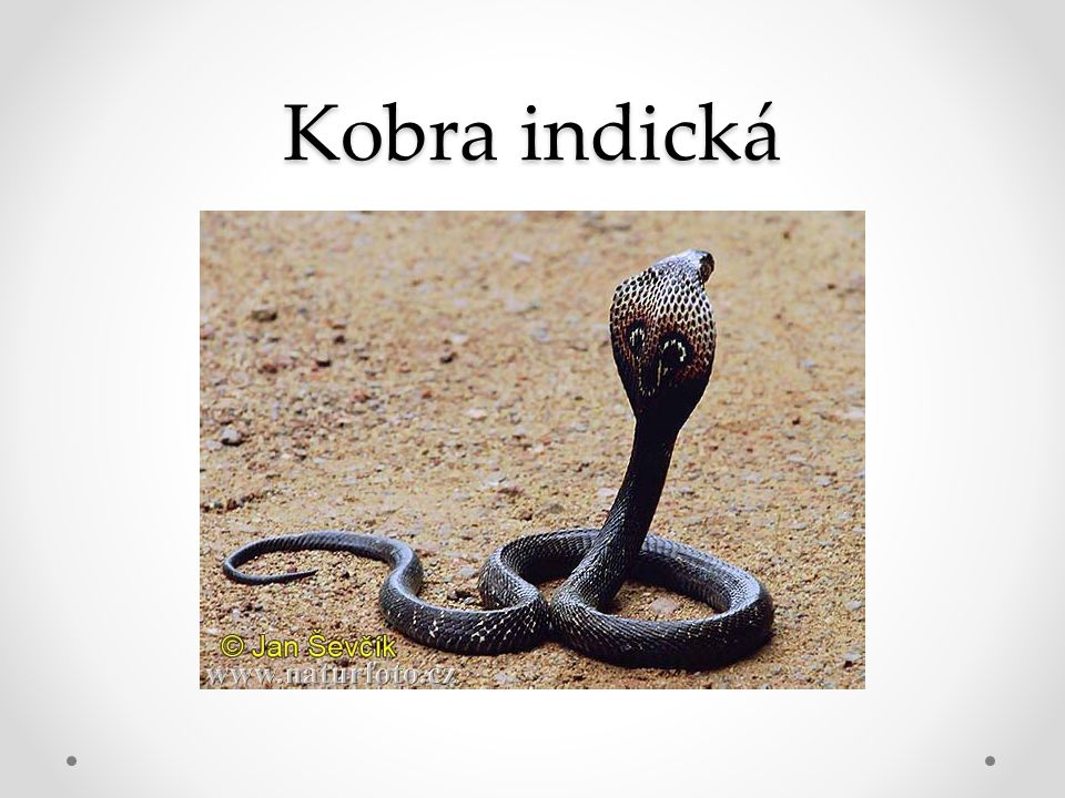 Mamba Je prudce jedovatá, patří mezi nejjedovatější hady světa..