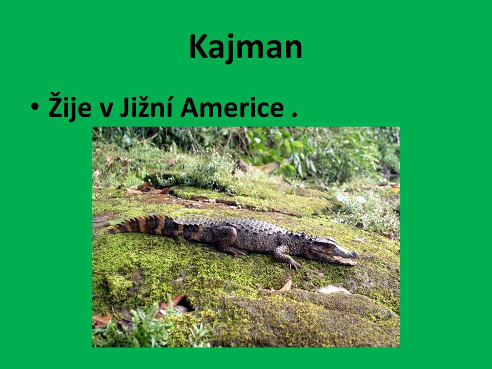 Kajman Žije v Jižní Americe.