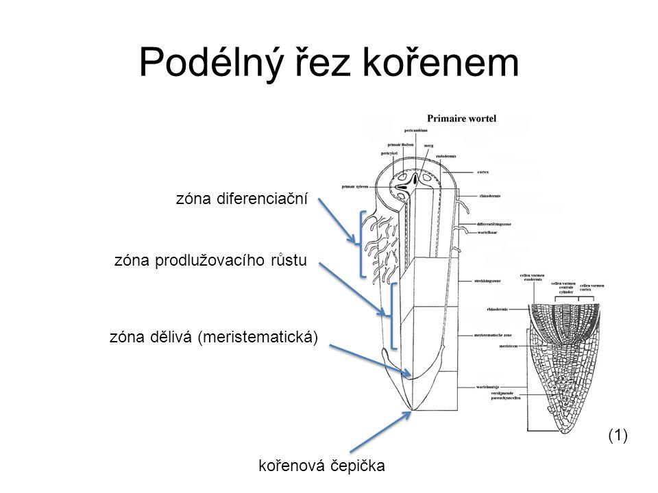 Podélný řez kořenem zóna diferenciační zóna prodlužovacího růstu zóna dělivá (meristematická) kořenová čepička (1)