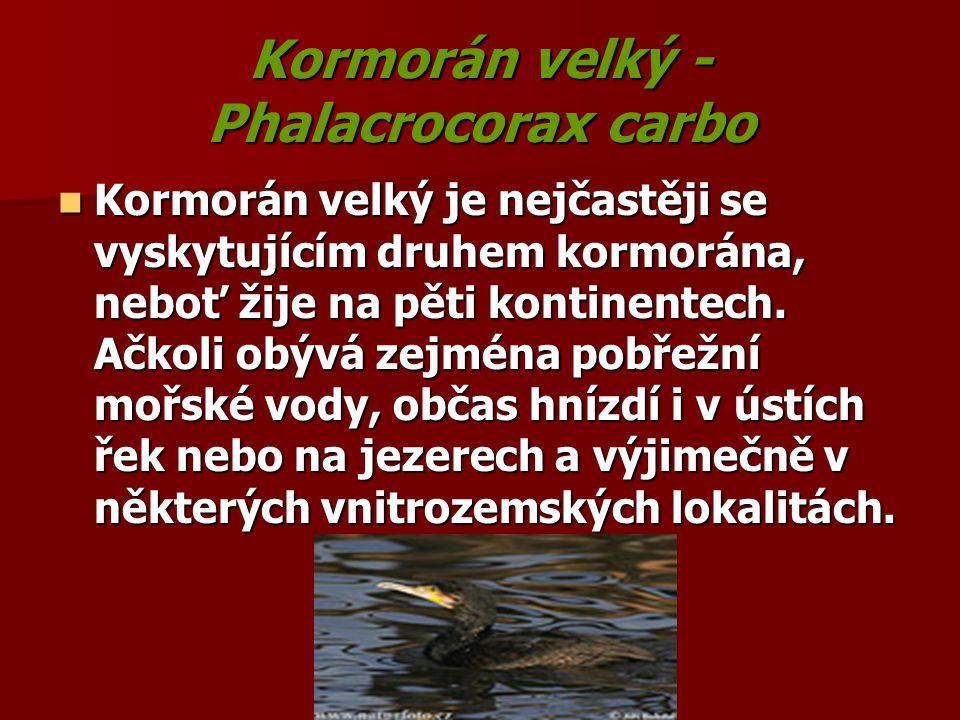 Kormorán velký - Phalacrocorax carbo Kormorán velký je nejčastěji se vyskytujícím druhem kormorána, neboť žije na pěti kontinentech. Ačkoli obývá zejm