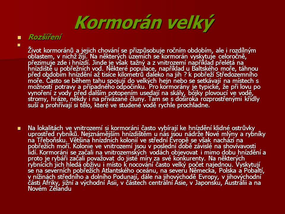 Kormorán velký Rozšíření Rozšíření Život kormoránů a jejich chování se přizpůsobuje ročním obdobím, ale i rozdílným oblastem, v nichž žijí. Na některý
