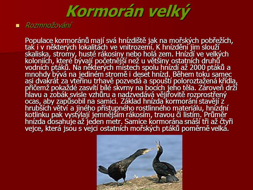 Kormorán velký Rozmnožování Rozmnožování Populace kormoránů mají svá hnízdiště jak na mořských pobřežích, tak i v některých lokalitách ve vnitrozemí.