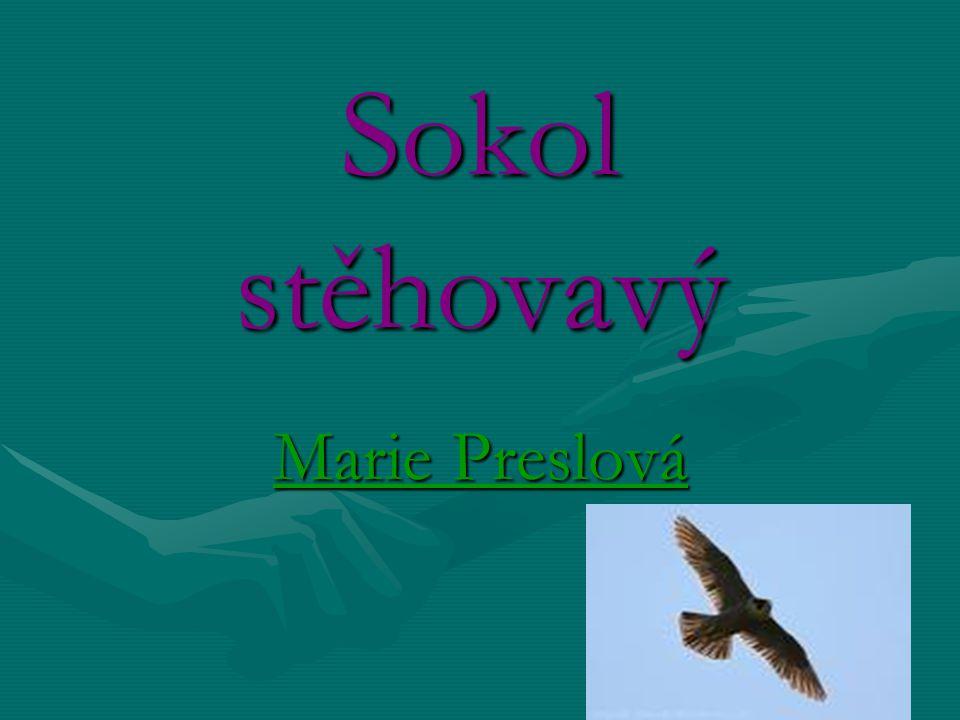 Sokol stěhovavý Marie Preslová