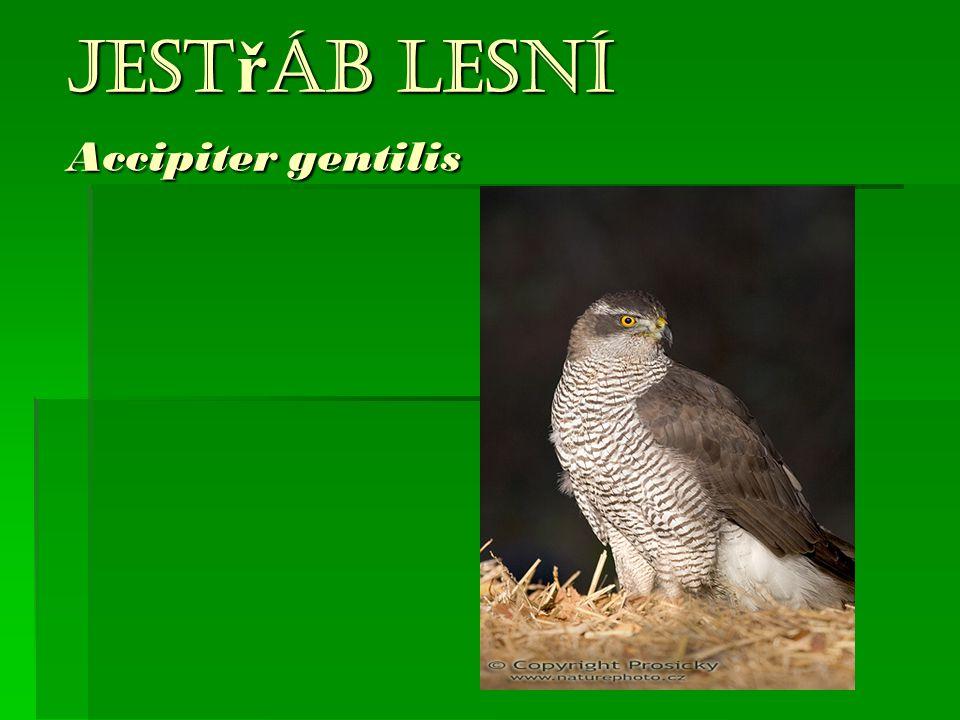 Jest ř áb lesní Accipiter gentilis