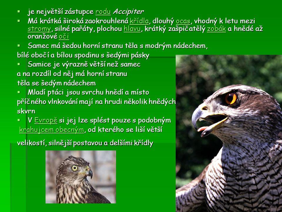  je největší zástupce rodu Accipiter rodu  Má krátká široká zaokrouhlená křídla, dlouhý ocas, vhodný k letu mezi stromy, silné pařáty, plochou hlavu