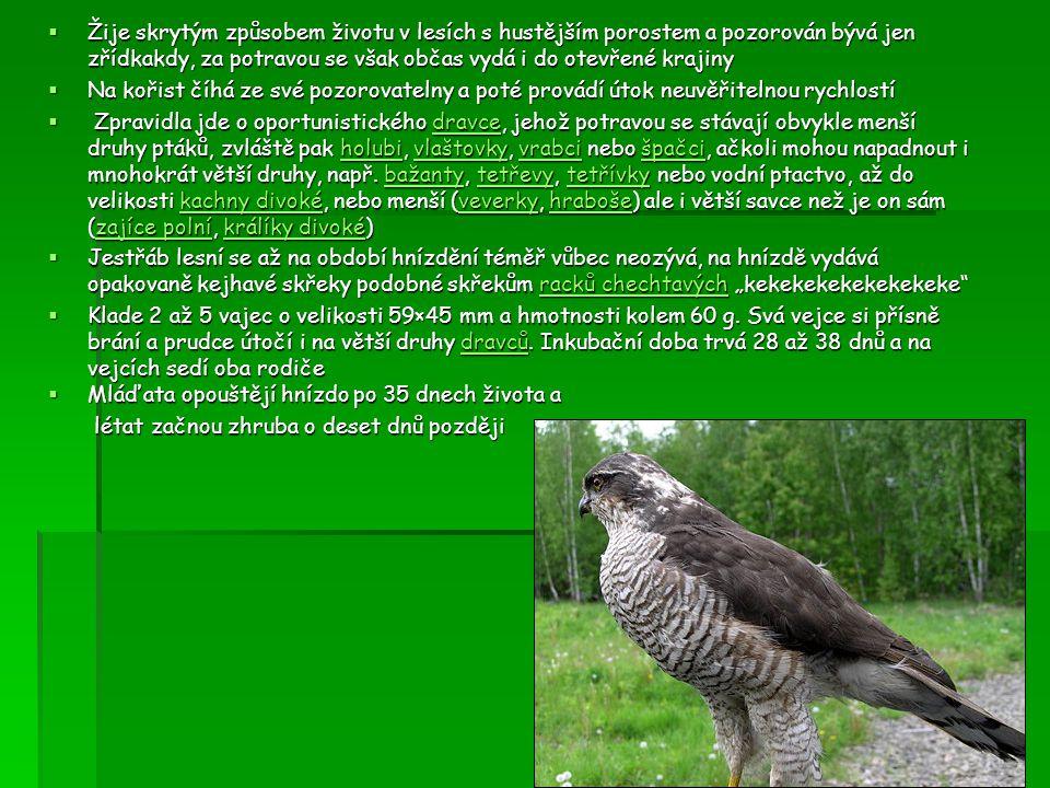  U myslivců jde o škodnou zvěř myslivců  Má krátká široká zaokrouhlená křídla, dlouhý ocas, vhodný k letu mezi stromy, silné pařáty, plochou hlavu, krátký zašpičatělý zobák a hnědé až oranžové oči křídlaocasstromyhlavu zobákočikřídlaocasstromyhlavu zobákoči  Žije skrytým způsobem životu v lesích s hustějším porostem a pozorován bývá jen zřídkakdy, za potravou se však občas vydá i do otevřené krajiny  Klade 2 až 5 vajec o velikosti 59×45 mm a hmotnosti kolem 60 g.