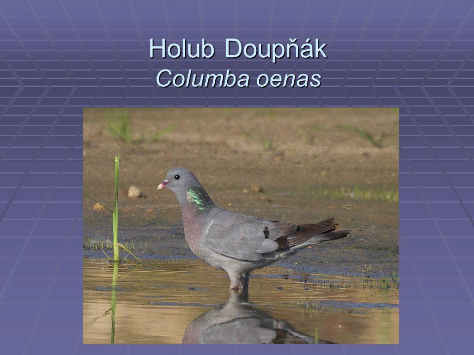 Holub Doupňák Columba oenas