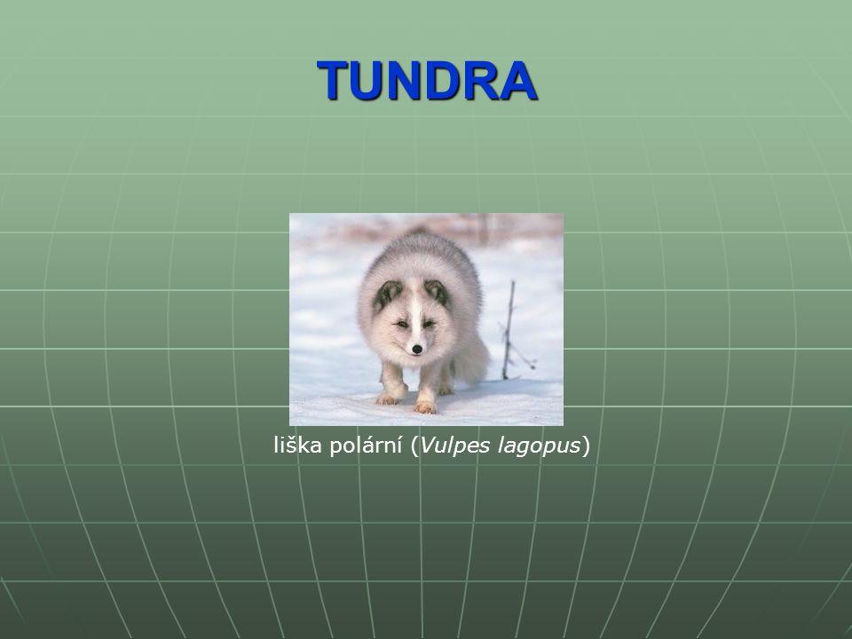 TUNDRA liška polární (Vulpes lagopus)
