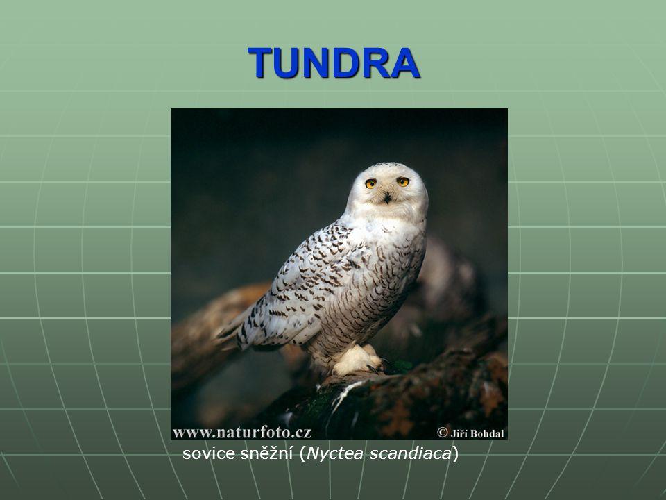 TUNDRA sovice sněžní (Nyctea scandiaca)