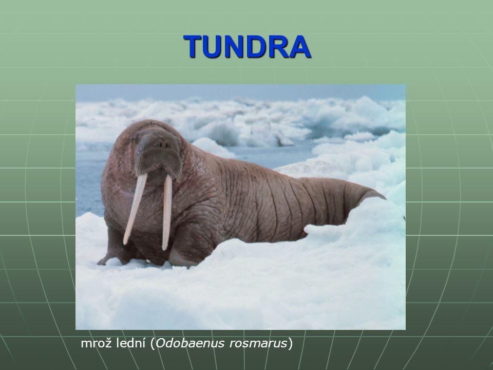 TUNDRA mrož lední (Odobaenus rosmarus)