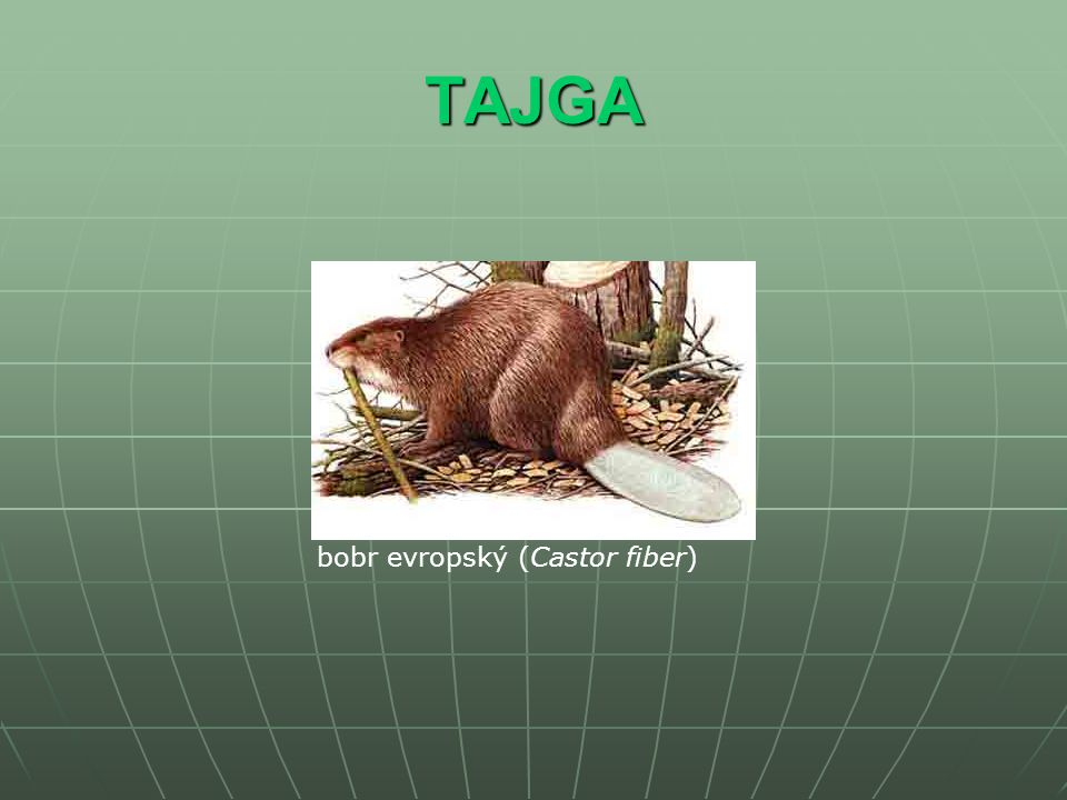 TAJGA bobr evropský (Castor fiber)