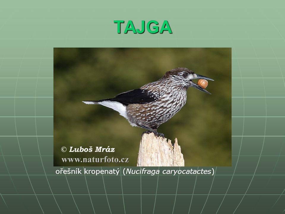 TAJGA ořešník kropenatý (Nucifraga caryocatactes)