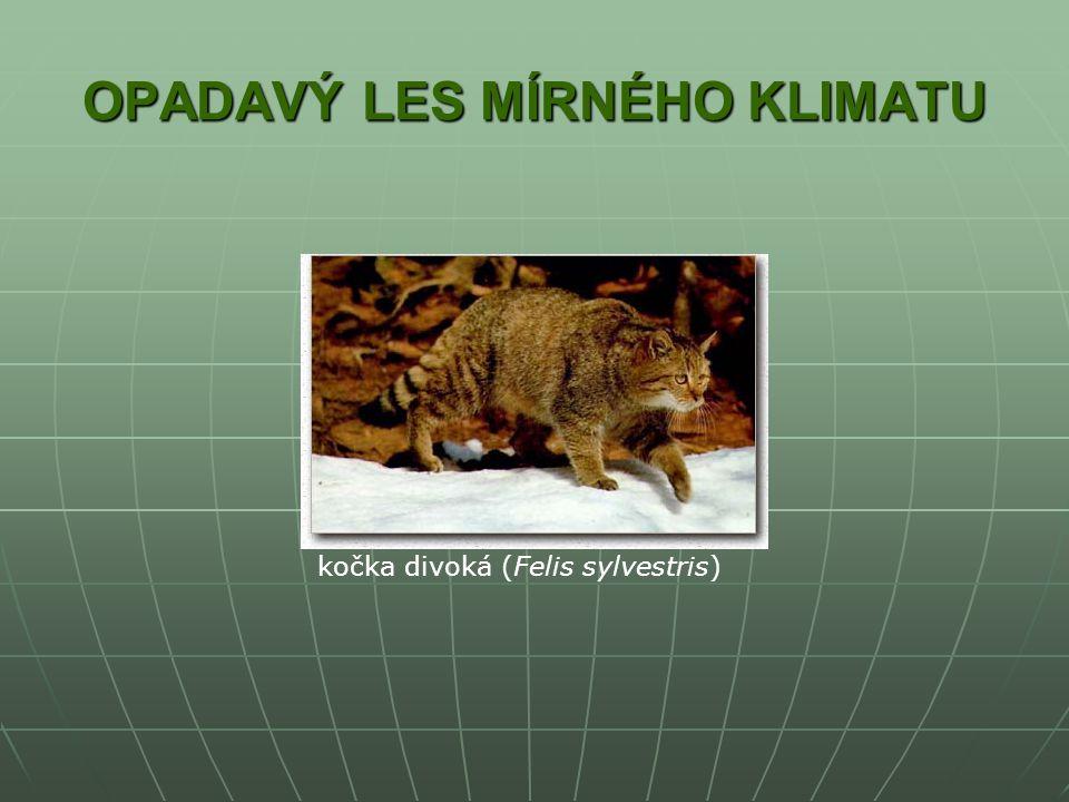 OPADAVÝ LES MÍRNÉHO KLIMATU kočka divoká (Felis sylvestris)