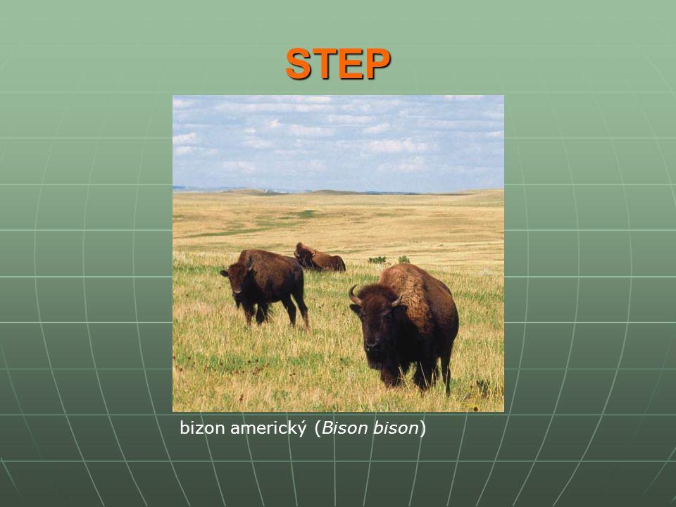 STEP bizon americký (Bison bison)