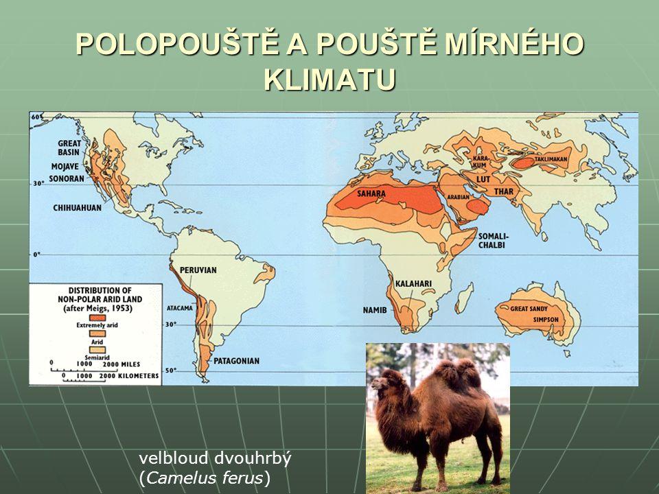 POLOPOUŠTĚ A POUŠTĚ MÍRNÉHO KLIMATU velbloud dvouhrbý (Camelus ferus)
