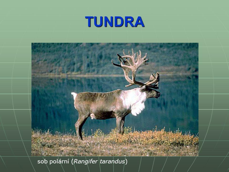 TUNDRA pižmoň severní (Ovibos moschatus)