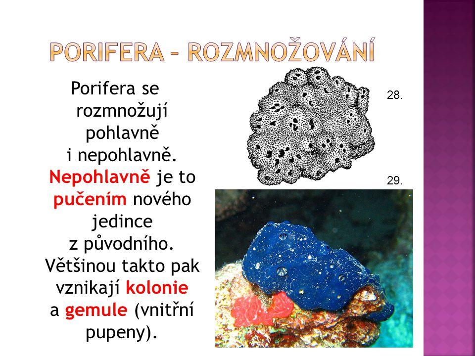 Porifera se rozmnožují pohlavně i nepohlavně. Nepohlavně je to pučením nového jedince z původního. Většinou takto pak vznikají kolonie a gemule (vnitř