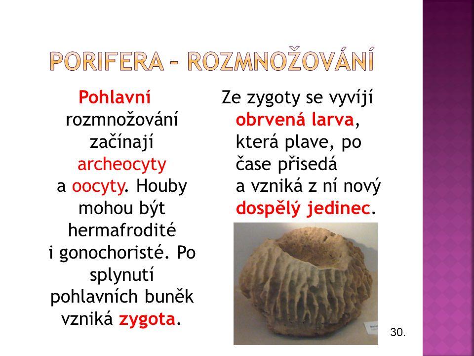 Pohlavní rozmnožování začínají archeocyty a oocyty. Houby mohou být hermafrodité i gonochoristé. Po splynutí pohlavních buněk vzniká zygota. Ze zygoty