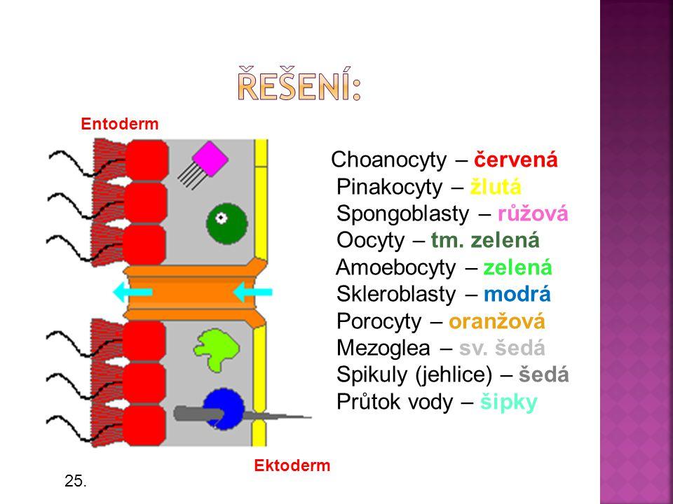 Choanocyty – červená Pinakocyty – žlutá Spongoblasty – růžová Oocyty – tm. zelená Amoebocyty – zelená Skleroblasty – modrá Porocyty – oranžová Mezogle