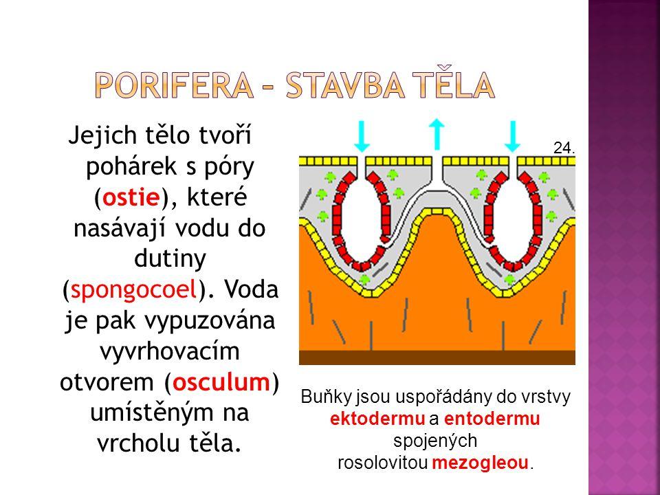 Jejich tělo tvoří pohárek s póry (ostie), které nasávají vodu do dutiny (spongocoel). Voda je pak vypuzována vyvrhovacím otvorem (osculum) umístěným n