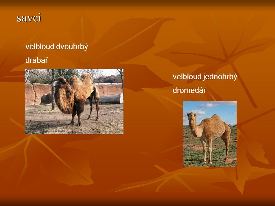 savci velbloud jednohrbý dromedár velbloud dvouhrbý drabař