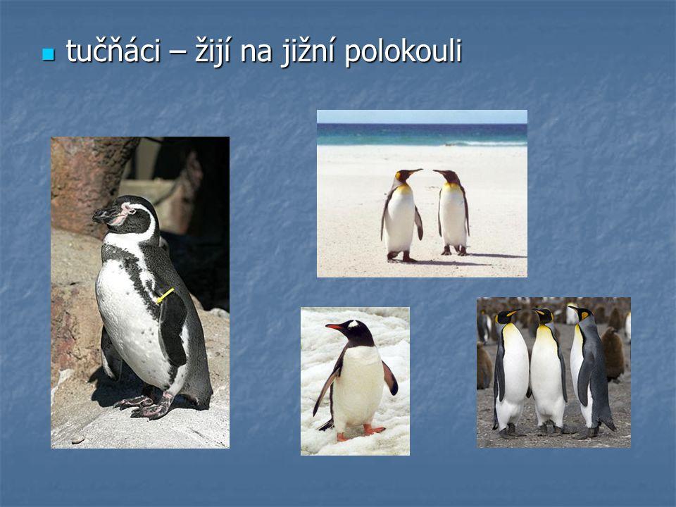 tučňáci – žijí na jižní polokouli tučňáci – žijí na jižní polokouli