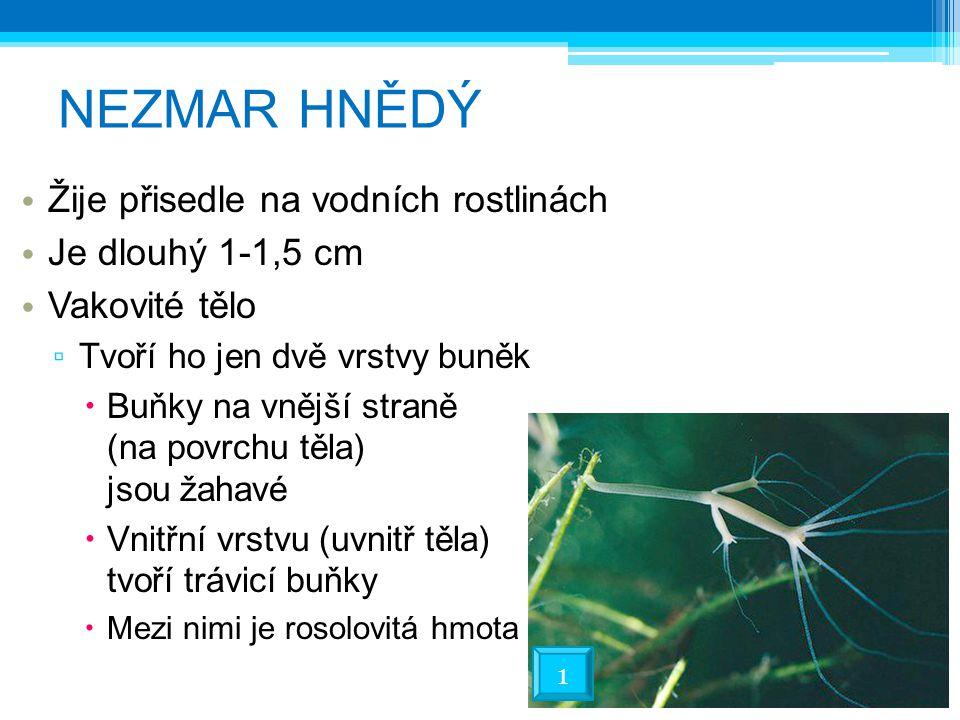 NEZMAR HNĚDÝ Žije přisedle na vodních rostlinách Je dlouhý 1-1,5 cm Vakovité tělo ▫ Tvoří ho jen dvě vrstvy buněk  Buňky na vnější straně (na povrchu