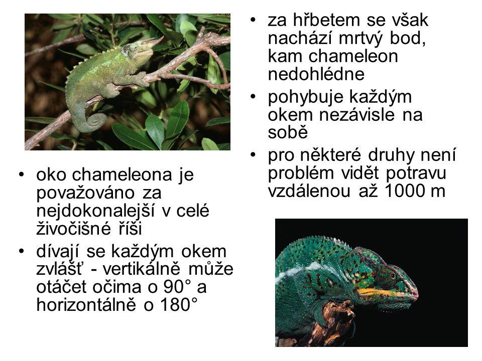 oko chameleona je považováno za nejdokonalejší v celé živočišné říši dívají se každým okem zvlášť - vertikálně může otáčet očima o 90° a horizontálně