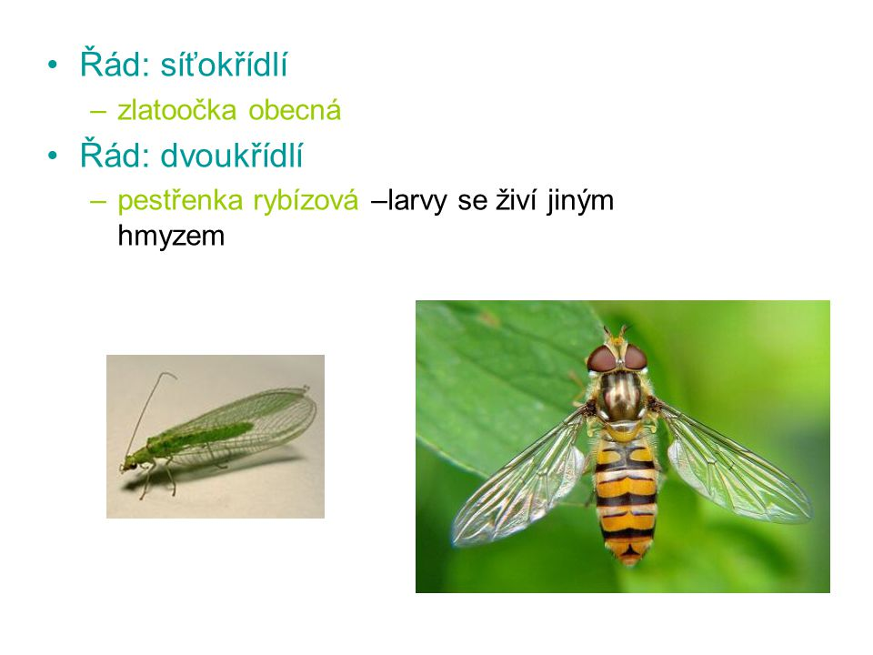 Řád: motýli –obaleč jabloňový způsobuje červivost jablek housenky se obalují v plodech a na listech předivem