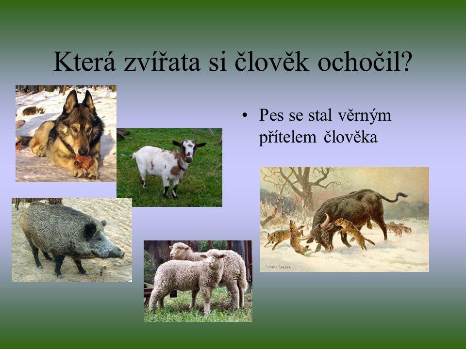 Která zvířata si člověk ochočil? Pes se stal věrným přítelem člověka
