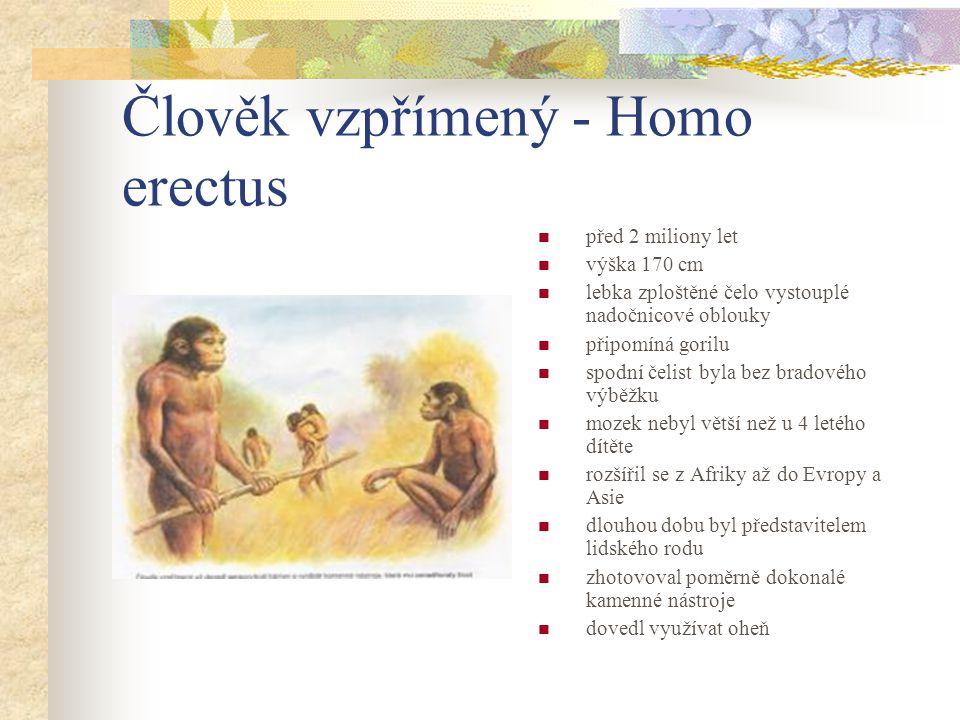 Člověk vzpřímený - Homo erectus před 2 miliony let výška 170 cm lebka zploštěné čelo vystouplé nadočnicové oblouky připomíná gorilu spodní čelist byla bez bradového výběžku mozek nebyl větší než u 4 letého dítěte rozšířil se z Afriky až do Evropy a Asie dlouhou dobu byl představitelem lidského rodu zhotovoval poměrně dokonalé kamenné nástroje dovedl využívat oheň