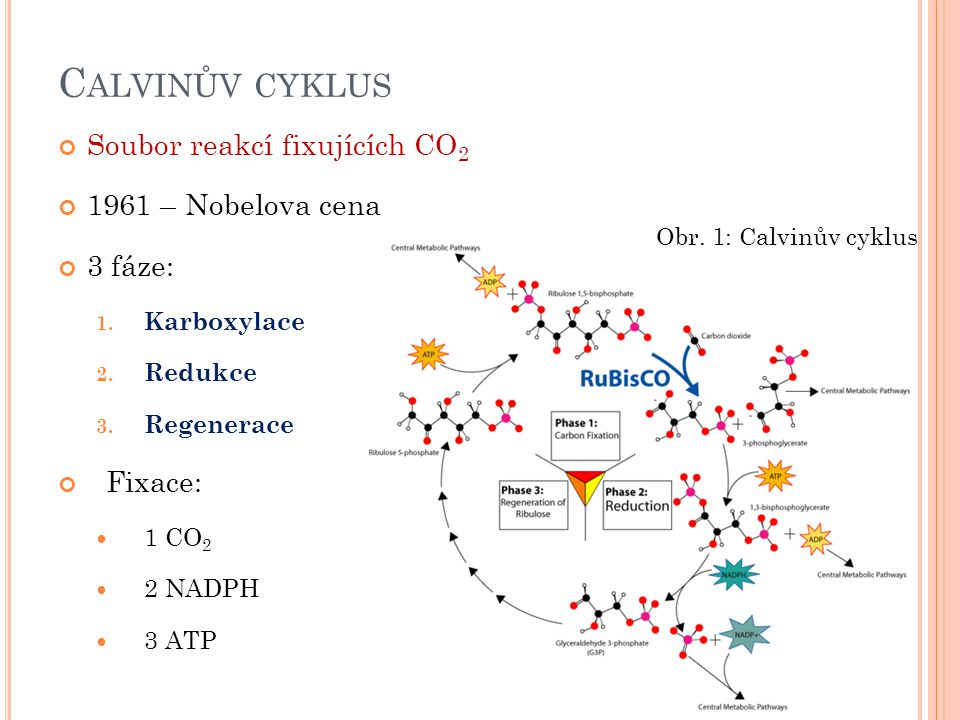 O BRÁZKY 1.Conscious. Commons.wikimedia.org: Calvin-cycle3.png[online].
