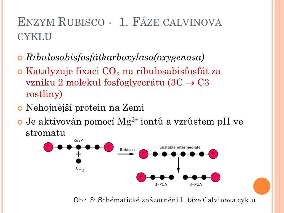 E NZYM R UBISCO - 1. F ÁZE CALVINOVA CYKLU Ribulosabisfosfátkarboxylasa(oxygenasa) Katalyzuje fixaci CO 2 na ribulosabisfosfát za vzniku 2 molekul fos
