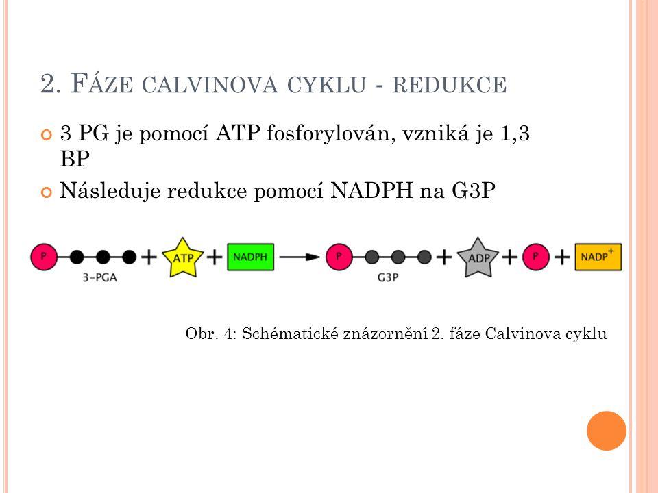 2. F ÁZE CALVINOVA CYKLU - REDUKCE 3 PG je pomocí ATP fosforylován, vzniká je 1,3 BP Následuje redukce pomocí NADPH na G3P Obr. 4: Schématické znázorn