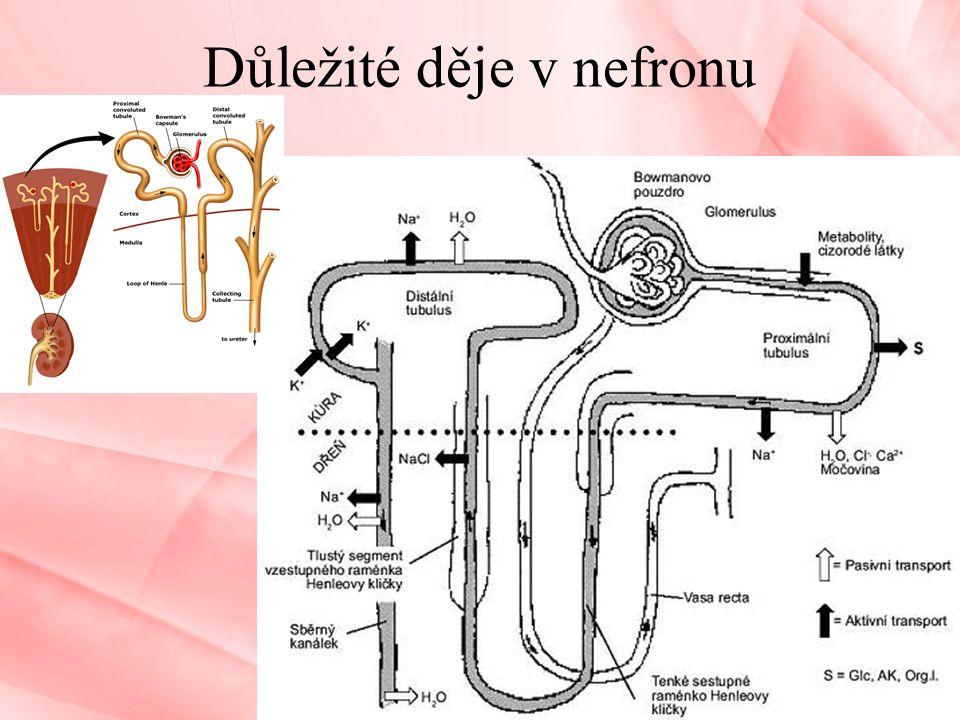 Důležité děje v nefronu Vylučovací soustava10