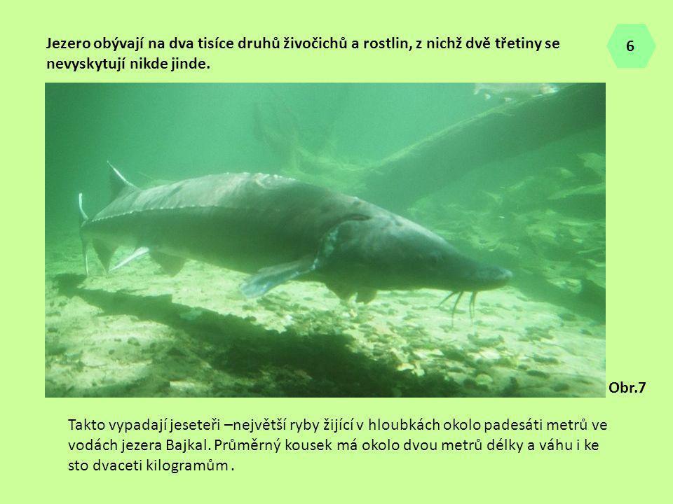 Takto vypadají jeseteři –největší ryby žijící v hloubkách okolo padesáti metrů ve vodách jezera Bajkal. Průměrný kousek má okolo dvou metrů délky a vá