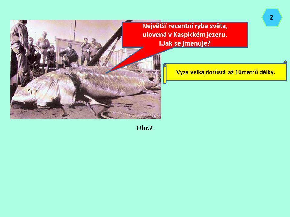 Největší recentní ryba světa, ulovená v Kaspickém jezeru. I.Jak se jmenuje? Vyza velká,dorůstá až 10metrů délky. Obr.2 2