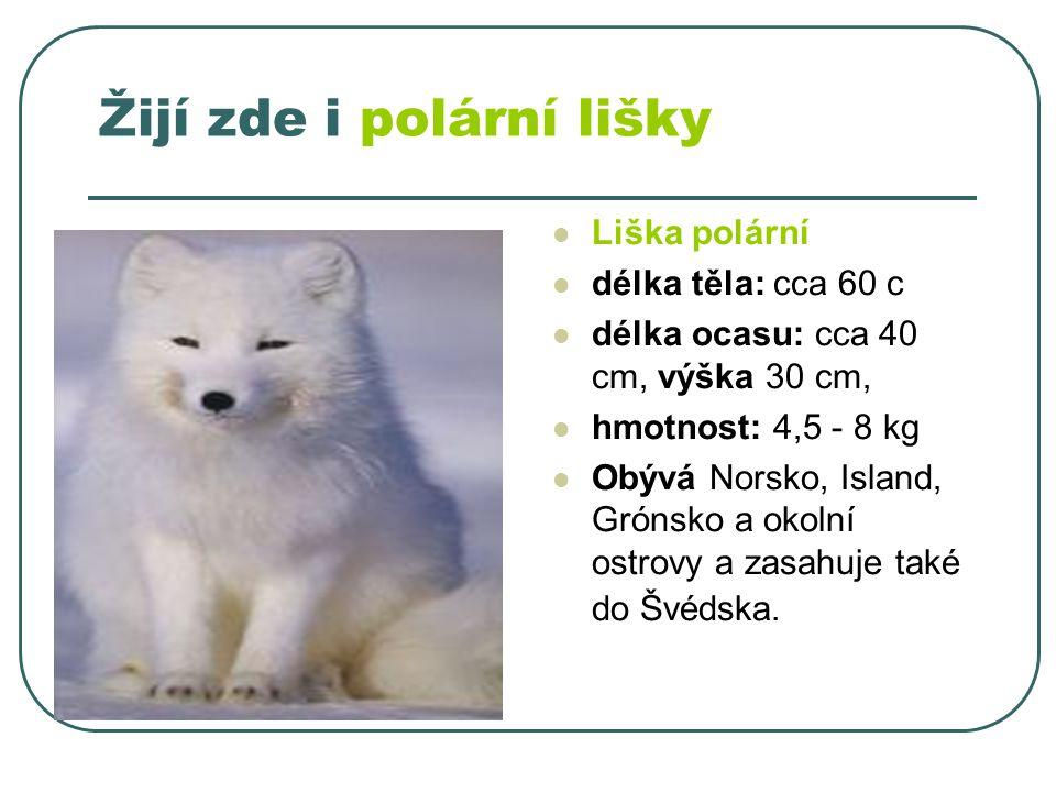 Žijí zde i polární lišky Liška polární délka těla: cca 60 c délka ocasu: cca 40 cm, výška 30 cm, hmotnost: 4,5 - 8 kg Obývá Norsko, Island, Grónsko a okolní ostrovy a zasahuje také do Švédska.