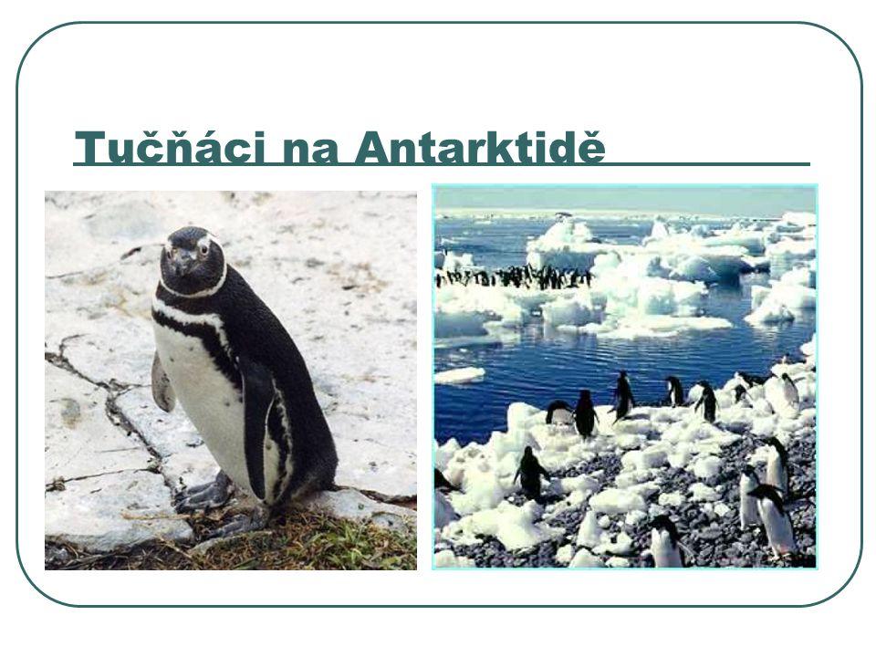 Tučňáci na Antarktidě