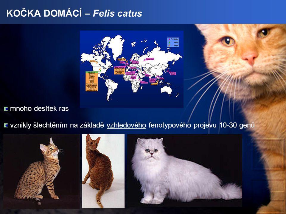KOČKA DOMÁCÍ – Felis catus mnoho desítek ras vznikly šlechtěním na základě vzhledového fenotypového projevu 10-30 genů