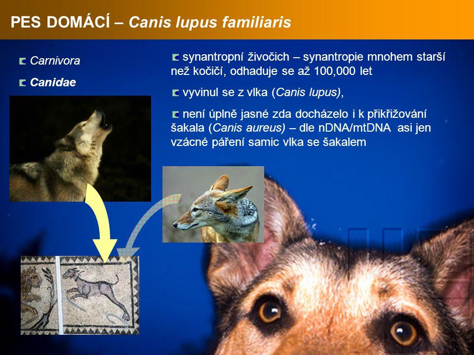PES DOMÁCÍ – Canis lupus familiaris Carnivora Canidae synantropní živočich – synantropie mnohem starší než kočičí, odhaduje se až 100,000 let vyvinul se z vlka (Canis lupus), není úplně jasné zda docházelo i k přikřižování šakala (Canis aureus) – dle nDNA/mtDNA asi jen vzácné páření samic vlka se šakalem