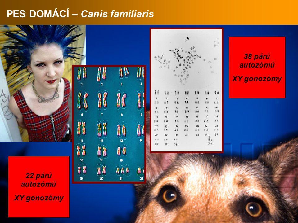 PES DOMÁCÍ – Canis familiaris 38 párů autozómů XY gonozómy 22 párů autozómů XY gonozómy