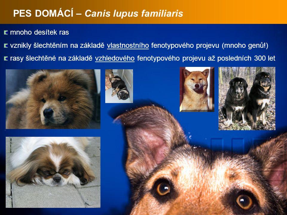 PES DOMÁCÍ – Canis lupus familiaris mnoho desítek ras vznikly šlechtěním na základě vlastnostního fenotypového projevu (mnoho genů!) rasy šlechtěné na základě vzhledového fenotypového projevu až posledních 300 let